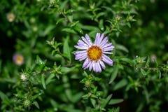 Il fiore selvaggio della margherita bianca su un prato ha offuscato il fondo Natura della foto fotografie stock libere da diritti