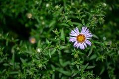 Il fiore selvaggio della margherita bianca su un prato ha offuscato il fondo Natura della foto fotografie stock