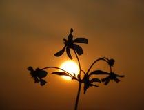 Il fiore selvaggio e tramonto Fotografie Stock Libere da Diritti