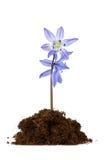 Il fiore si sviluppa nel terreno Fotografia Stock