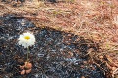 Il fiore sopravvive a sulla cenere di erba bruciata Immagini Stock Libere da Diritti