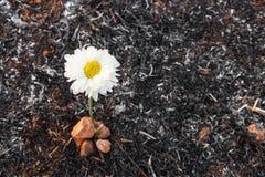 Il fiore sopravvive a sulla cenere di erba bruciata Fotografia Stock Libera da Diritti