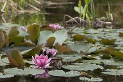Il fiore sull'acqua Fotografia Stock