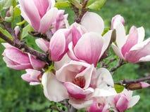 Il fiore tenero della magnolia di rosa della molla sul giardino verde lascia il backgr Fotografie Stock Libere da Diritti