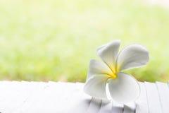 Il fiore tropicale del frangipane bianco, plumeria fiorisce la fioritura sul TR Immagini Stock