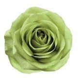 Il fiore verde chiaro è aumentato su fondo isolato bianco con il percorso di ritaglio Nessun ombre closeup Per il disegno Fotografia Stock Libera da Diritti