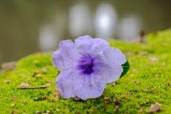 Il fiore viola cade sull'erba verde dell'acqua dell'orlo, Immagine Stock