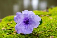 Il fiore viola cade sull'erba verde dell'acqua dell'orlo, Immagini Stock
