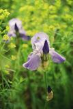 Il fiore viola dell'iride contro un fondo del prato giallo fiorisce Immagini Stock