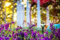 Il fiore viola ha tempo d'innaffiatura Fotografia Stock Libera da Diritti