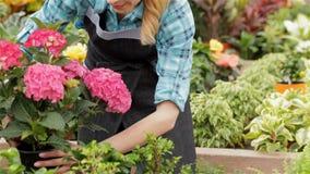 Il fiorista femminile prende il vaso da fiori con il geranio dallo scaffale al centro di giardino stock footage