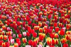 Il fiume del tulipano nel parco reale Keukenhof Fotografie Stock Libere da Diritti