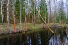 Il fiume entra fra gli alberi in una foresta, molla Immagine Stock Libera da Diritti