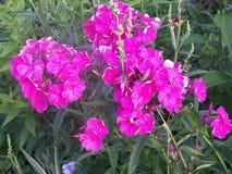 Il flox è un genere di fioritura delle piante erbacee della famiglia di Sinuhov immagini stock libere da diritti