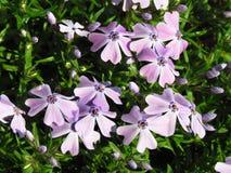 Il flox, variante rosa, pianta bassa della copertura, dettaglio del fiore, piccolo rosa fiorisce Fotografia Stock Libera da Diritti