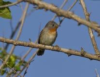 Il Flycatcher dal petto rosso maschio (parva di Ficedula). Fotografia Stock Libera da Diritti