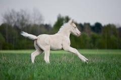 Il foal bianco galoppa nel campo Fotografie Stock Libere da Diritti
