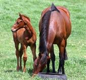 Il Foal osserva a sinistra Immagini Stock