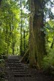 Il fogliame fertile e verde circonda le numerose tracce di escursione nella foresta della nuvola di Monteverde in Costa Rica immagine stock libera da diritti