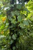 Il fogliame fertile e verde circonda un tronco di albero nella nuvola Forest Reserve di Monteverde fotografia stock libera da diritti
