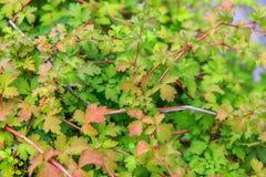 Il fogliame verde di un cespuglio con la fattura rossa e gialla e rossa stacca in autunno in anticipo, la struttura, fondo della  Fotografia Stock Libera da Diritti