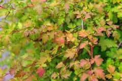 Il fogliame verde di un cespuglio con la fattura rossa e gialla e rossa stacca in autunno in anticipo, la struttura, fondo della  Immagine Stock Libera da Diritti