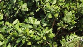 Il fogliame verde ondeggia nel vento stock footage