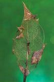Il foglio dell'agrifoglio parzialmente si è decomposto su verde immagini stock