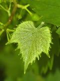 Il foglio dell'uva Immagini Stock