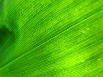Il foglio verde si è illuminato da dietro Immagine Stock Libera da Diritti