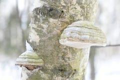 Il fomentarius di fomes conosciuto comunemente come il fungo dell'esca, il fungo falso dell'esca, il fungo dello zoccolo, esca co immagine stock
