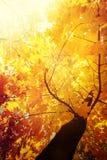 Il fondo astratto della natura di autunno con l'albero di acero va Fotografia Stock Libera da Diritti