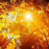 Il fondo astratto della natura di autunno con l'albero di acero va Immagine Stock Libera da Diritti