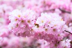 Il fondo con il bello fiore di ciliegia rosa, Sakura fiorisce Immagine Stock Libera da Diritti