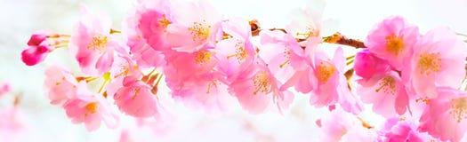 Il fondo con il bello fiore di ciliegia rosa, Sakura fiorisce Fotografia Stock Libera da Diritti