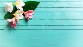 Il fondo con la plumeria tropicale bianca e rosa fiorisce su turq Fotografia Stock Libera da Diritti