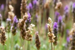 Il fondo Defocused di lavanda fiorisce con i colori viola e verdi Fotografia Stock