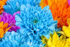 Il fondo del crisantemo variopinto fiorisce, blu, rosa, giallo Immagine Stock Libera da Diritti