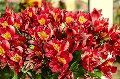Il fondo del mazzo con rosso fiorisce il Alstroemeria Fotografie Stock Libere da Diritti