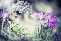 Il fondo della natura della primavera con i croco graziosi fiorisce in giardino o in parco immagini stock