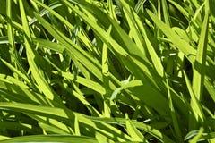 Il fondo di alta erba verde ha evidenziato dal sole Fotografie Stock