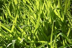 Il fondo di alta erba verde ha evidenziato dal sole Fotografia Stock