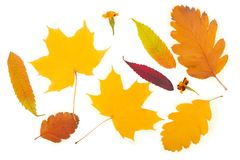 Il fondo di autunno della caduta va su fondo bianco Fotografie Stock