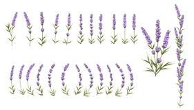 Il fondo di lavanda porpora fiorisce, fiori di stile dell'acquerello Fotografia Stock Libera da Diritti