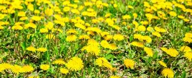 Il fondo fresco della molla dei denti di leone di giallo del campo fiorisce Immagini Stock Libere da Diritti