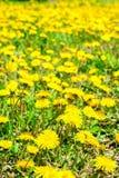 Il fondo fresco della molla dei denti di leone di giallo del campo fiorisce, vicino Immagine Stock Libera da Diritti