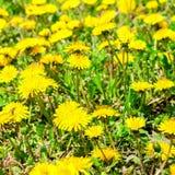 Il fondo fresco della molla dei denti di leone di giallo del campo fiorisce, vicino Fotografia Stock