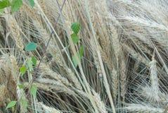 Il fondo orecchie dorate del primo piano di macro e verdi del grano nel campo ed in una betulla si ramifica Fotografie Stock