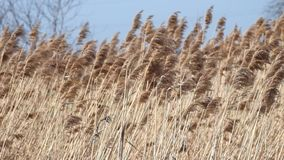 Il forte vento scuote l'alta erba asciutta archivi video