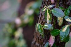 Il fortunei morbido selettivo Interbolwi di euonymus del fuoco o il fuso della fortuna, rampicante dell'inverno con le foglie bia fotografia stock